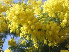 les-mimosas-4168969989-933863.jpg